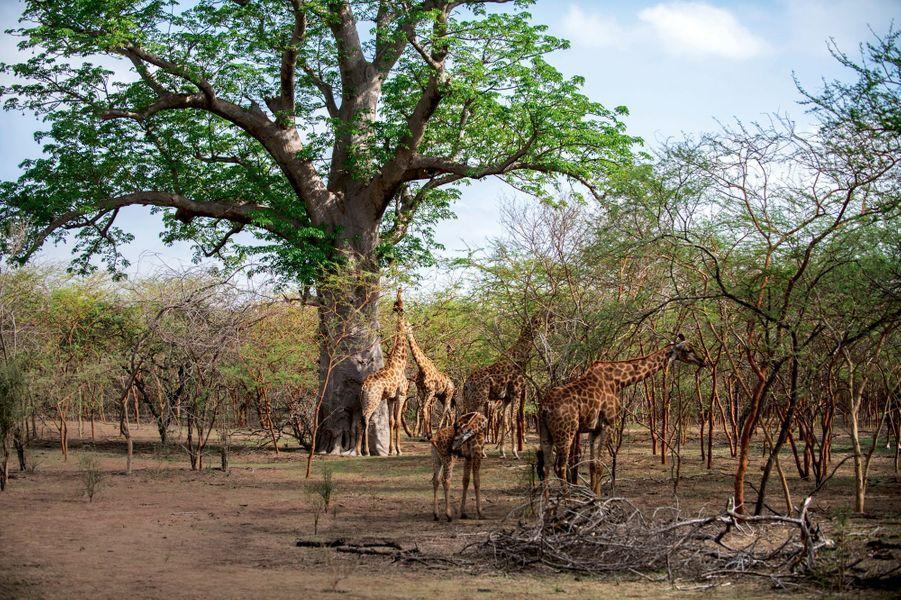 Girafes à la réserve de Bandia