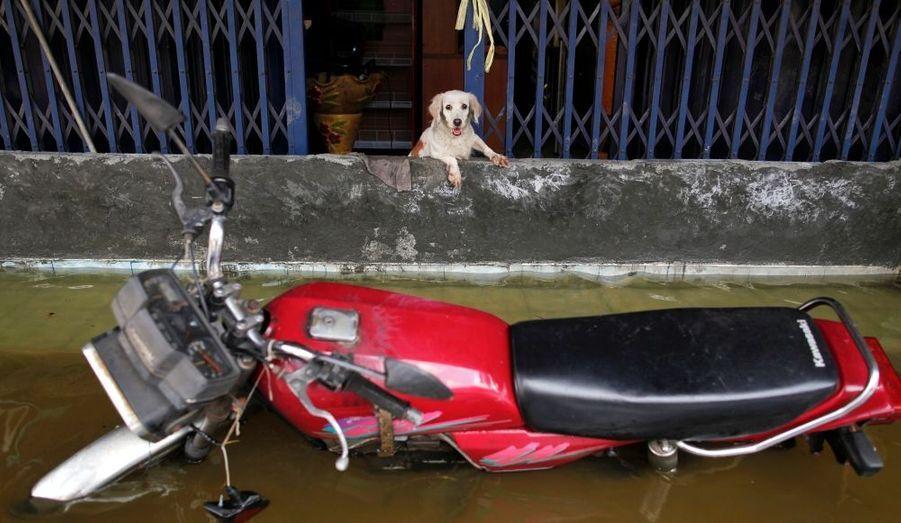 Comme le peuple thaïlandais, ce chien regarde l'inondation de Bangkok sans s'affoler.
