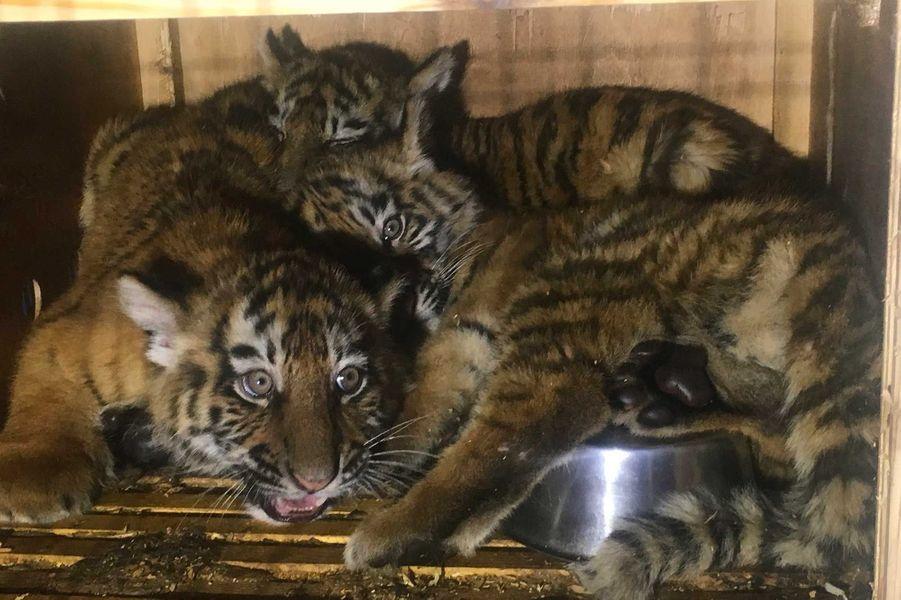 Les trois tigres ont été trouvés dans des conditions artoces.