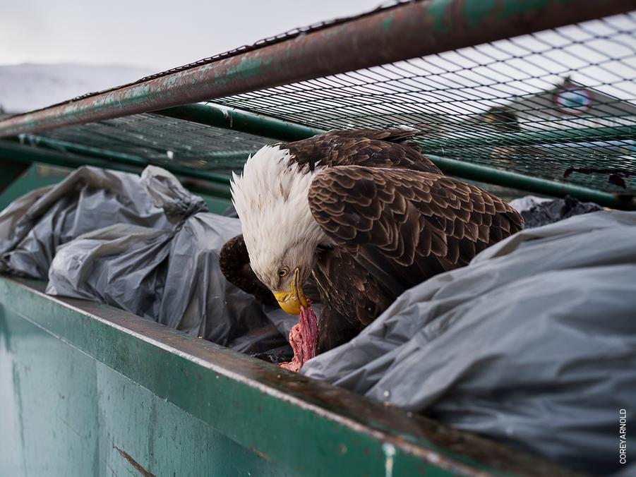 NATURE - SINGLES :Corey Arnold, USA.Dumpster Diver