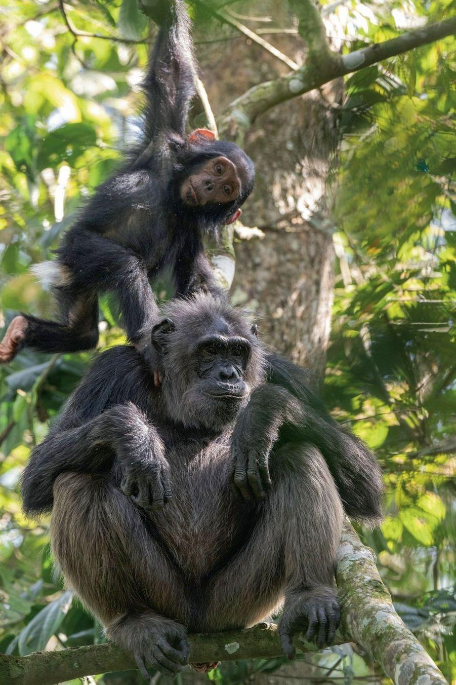 Kitaka, une quarantaine d'années, et son fils Apollo, 2ans. Dans cette communauté d'une centaine d'individus de la zone de Sebitoli, dans le nord du parc national de Kibale, où Sabrina a installé son camp, chacun a son prénom.