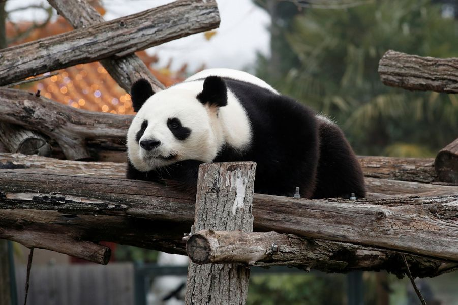 Yuan Zi, le père du petit panda.