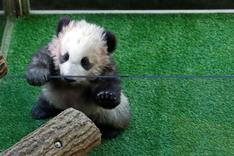 Yuan Meng, premier bébé panda né en France. Il fête aujourd'hui ses 4 mois.