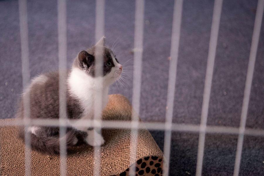 Après les chiens, les chats et bientôt un panda : la société chinoiseSinogene a cloné pour la première fois et avec réussite un chat décédé il y a sept mois de cela.