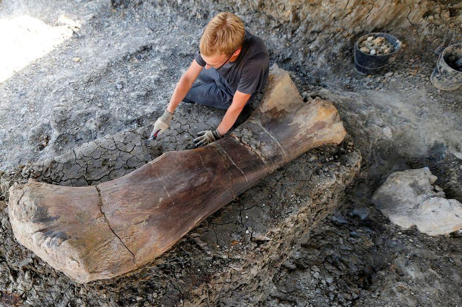 """Le fémur de deux mètres trouvé àAngeac-Charenteprovient """"probablement"""" de l'arrière-train d'un sauropode, une bête""""qui devait faire une trentaine de mètres de long""""."""