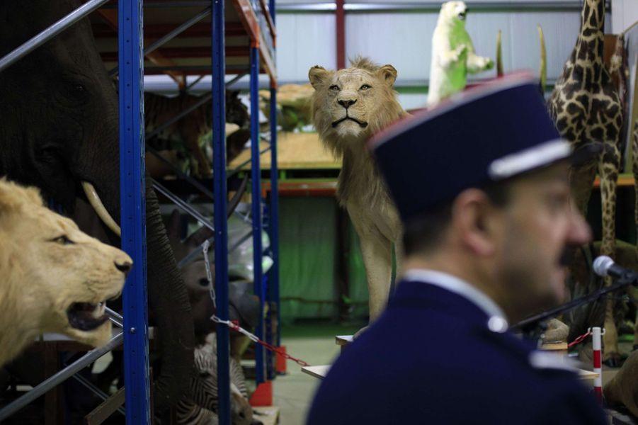 Animaux empaillés saisis par les douanes: d'un salon de Besançon au musée d'histoire naturelle
