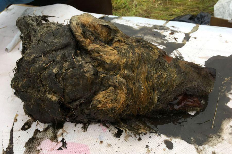 La tête,longue de 41,5 centimètres et qui contient un cerveau intact et toutes ses dents,a été découverte l'été dernier dans les glaces éternelles, au bord d'une rivière en Iakoutie (Sibérie orientale) par un habitant.