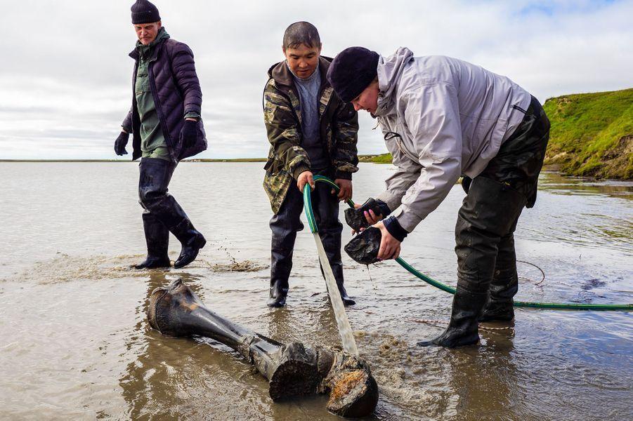 Le squelette demammouth découvert dans le lacPechevalavato, en Sibérie