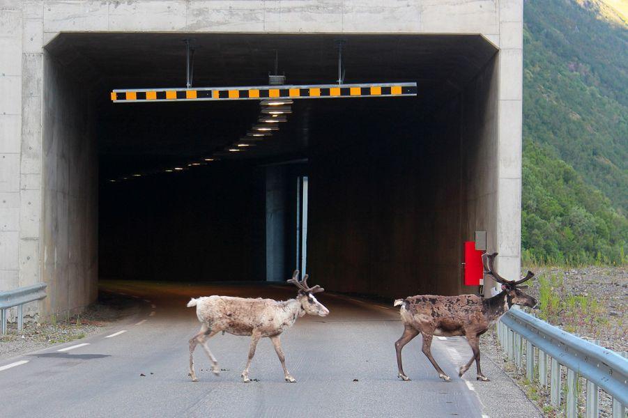Des rennes se rafraichissent dans des tunnels en Norvège.