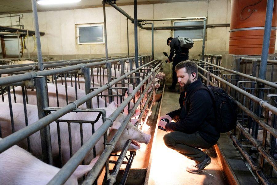 William dans un élevage de porcs près de Rambouillet. A la « maternité », éclairée nuit et jour, les futures mères sont coincées dans de minuscules cages.