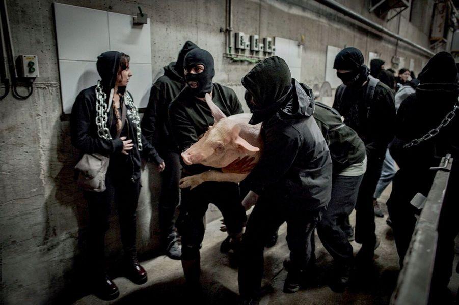Un photographe de l'association 269 Libération animale immortalise une opération choc dans un abattoir en Espagne. Sept cochons issus d'un élevage industriel seront « exfiltrés » vers un sanctuaire tenu secret.