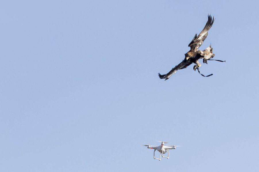 L'aigle, arme anti-drone. Sur la base de Mont-de-Marsan : pour éviter qu'il ne blesse sa «proie», les serres du rapace sont recouvertes d'une protection en Kevlar.