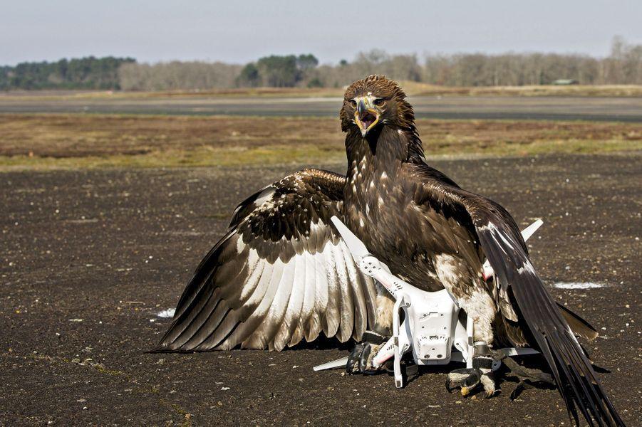 Cible atteinte et mise à terre! A la chasse au drone, il est le roi.