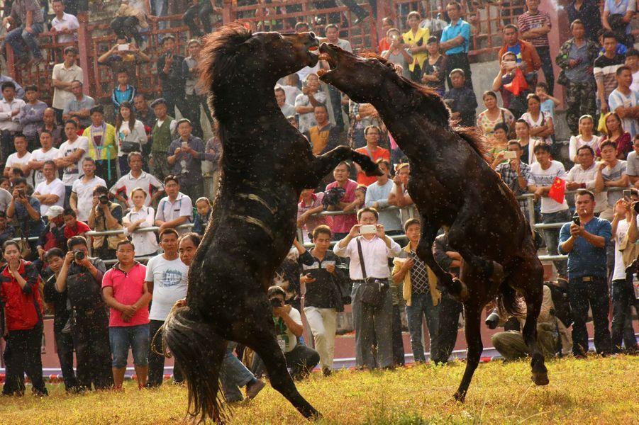 L'horrible tradition des combats d'étalons en Chine