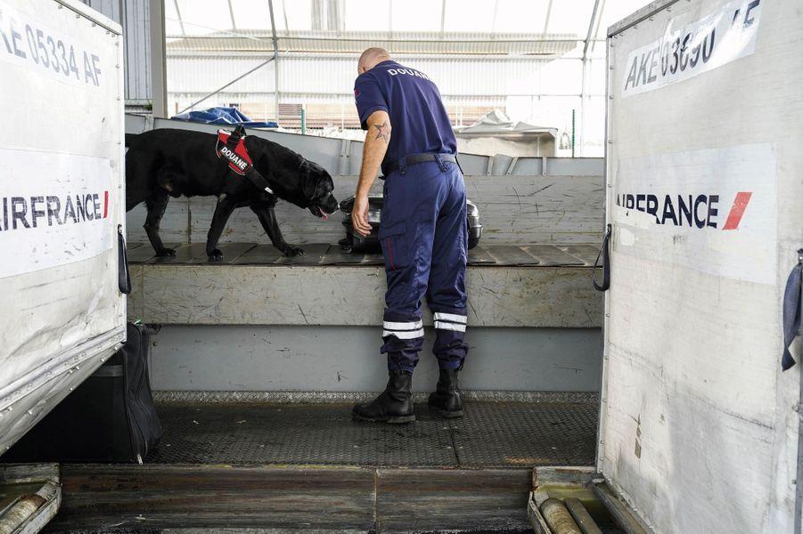 A Cayenne, Flash, un labrador de 8 ans spécialisé dans la recherche de stupéfiants, vérifie chaque valise en partance pour Paris.