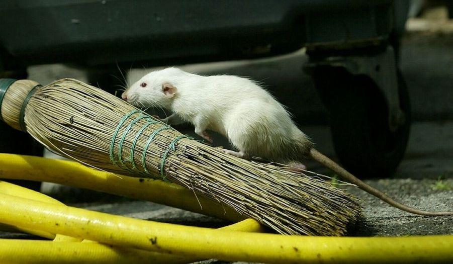 Les rongeurs ont envahi Paris et sa banlieue depuis près de deux semaines. Déracinés ou à la recherche de nourriture et de chaleur, les rats semblent décidés à s'installer dans la capitale.