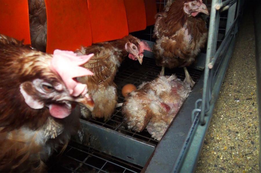 Une poule morte gît au milieu de ses congénères.