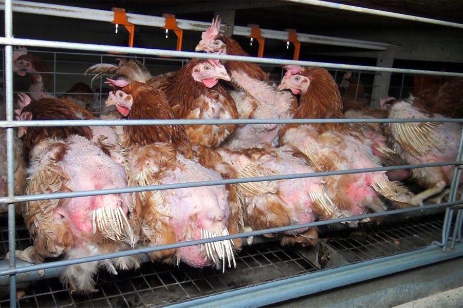 Les poules sont entassées.