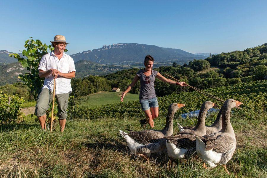Au domaine des Vins de Lavie, dans le Bugey (Ain), Guillaume et Aline ramènent les oies de leurs vignes.