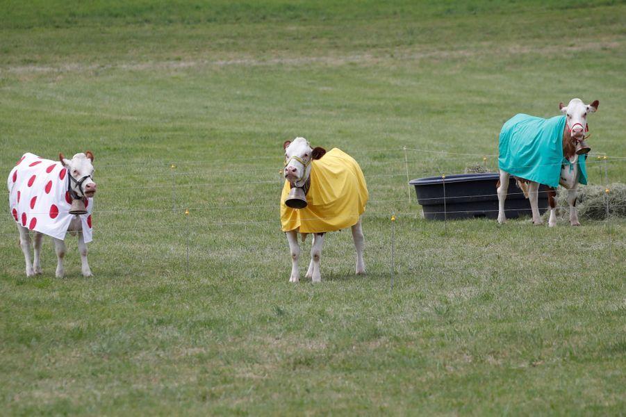 Entre Dole et les Rousses, des vaches portent les maillots distinctifs du Tour de France.