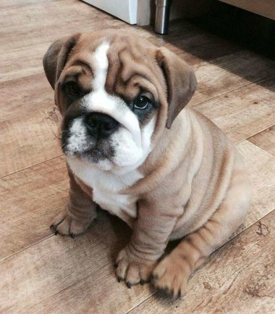 Bulldoghttps://www.pinterest.fr/pin/411938697158308779/
