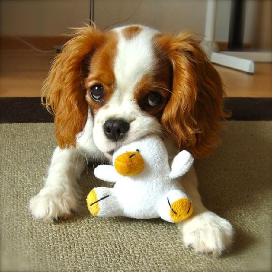 Cavalier King Charles Spaniel https://www.pinterest.fr/pin/411938697158308743/