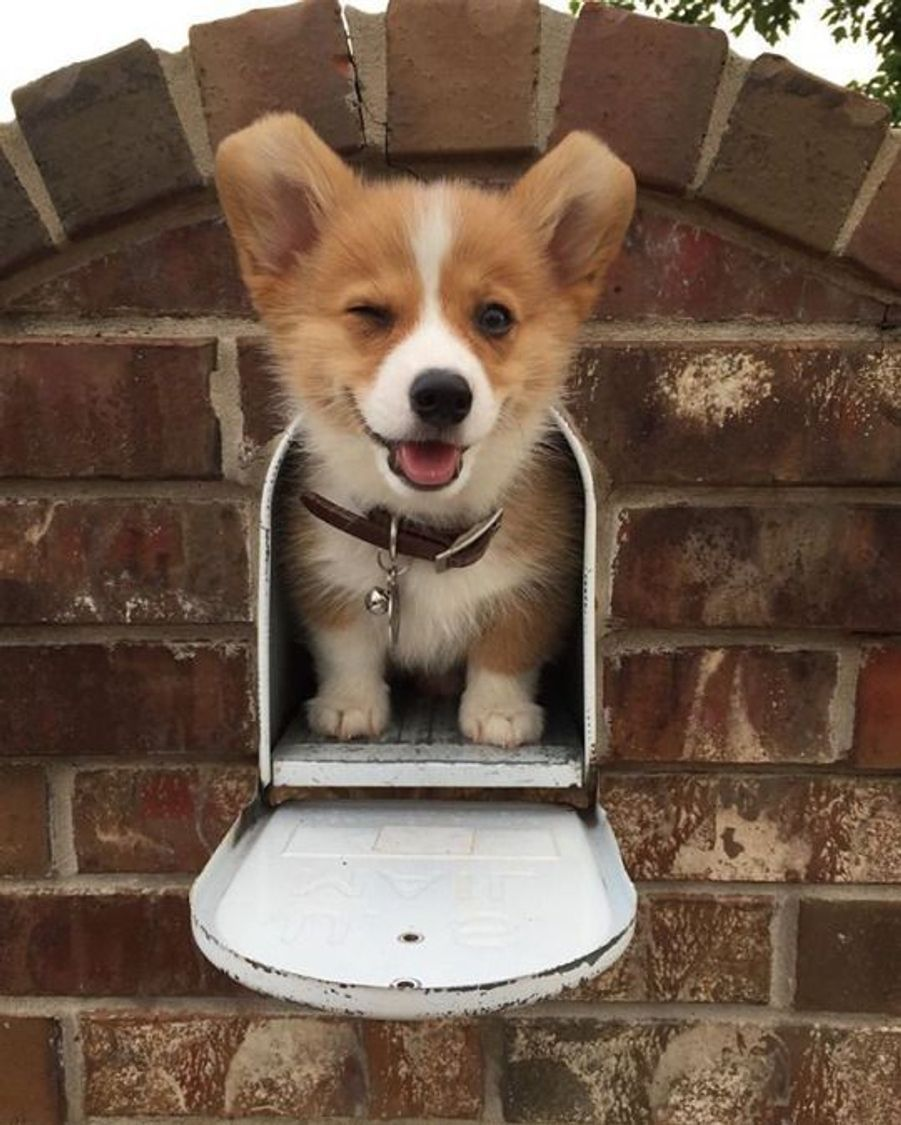 Corgihttps://www.pinterest.fr/pin/411938697158308720/