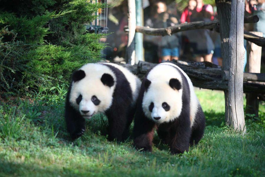 Yuan Meng, le panda du ZooParc de Beauval, a eu 2 ans, le 4 août 2019.