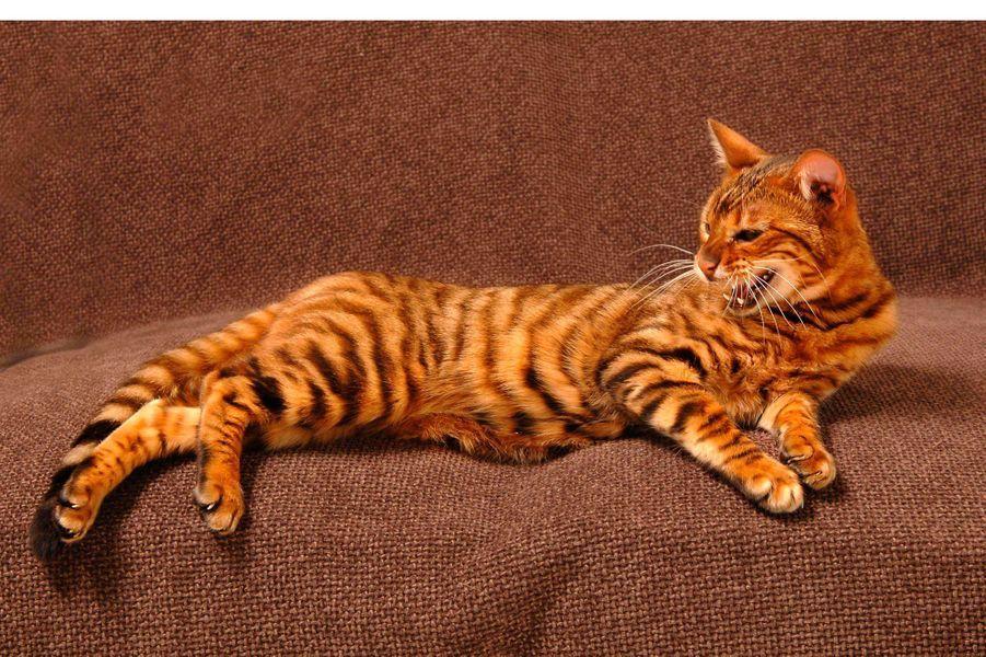 Le chat est un félin qui a été domestiqué en premier lieu pour chasser les souris dans les exploitations agricoles.