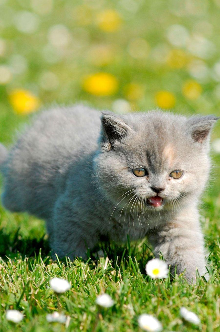 La domestication du chat remonterait à entre7500et9000ansavant Jésus-Christ.