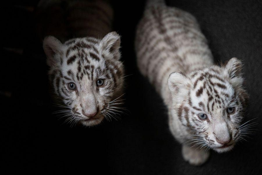 Trois petits tigres blancs aux yeux bleus ont fait leurs premiers pas, à Kunming en Chine, le 12 octobre 2018