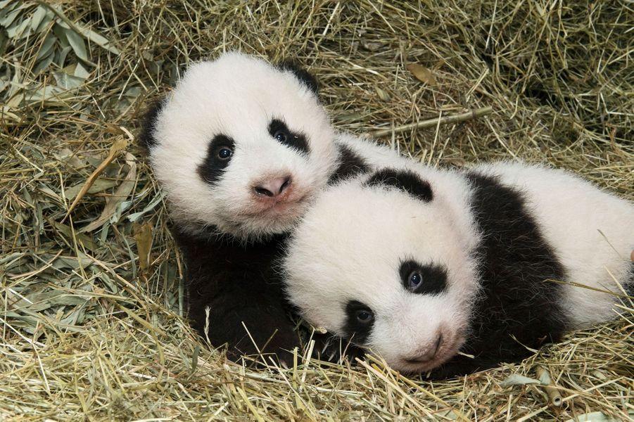 Les bébés de Yang Yang