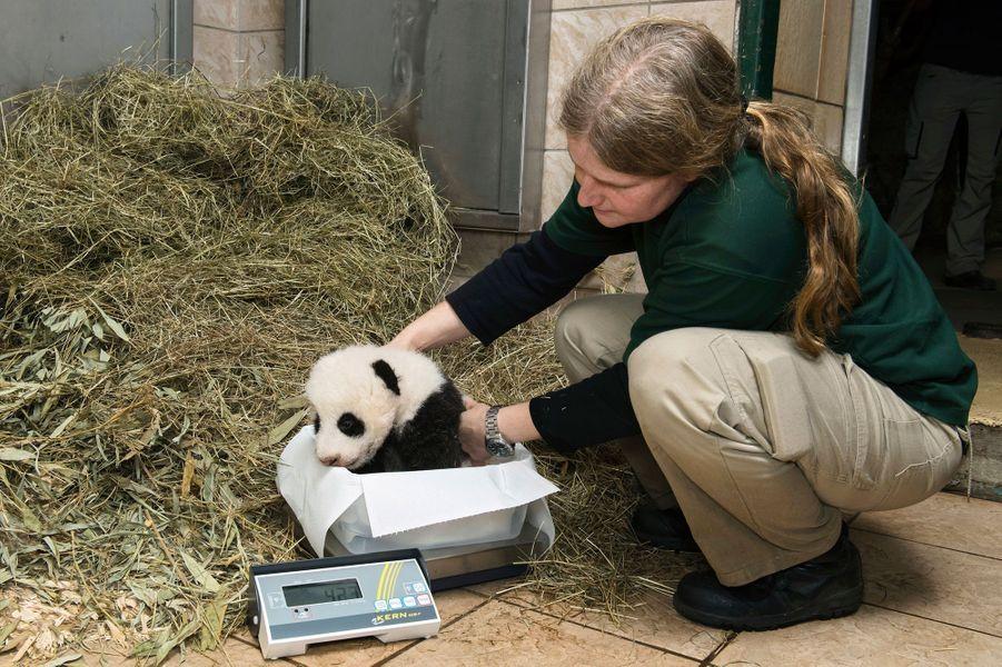 Les bébés de Yang Yang, au zoo de Vienne