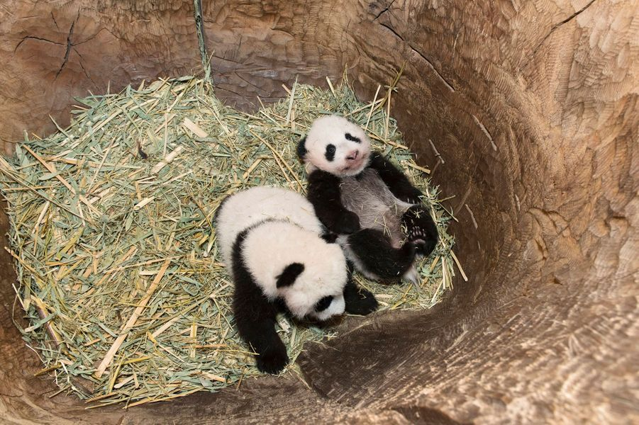 Les bébés de Yang Yang, au zoo de Vienne sont encore cachés