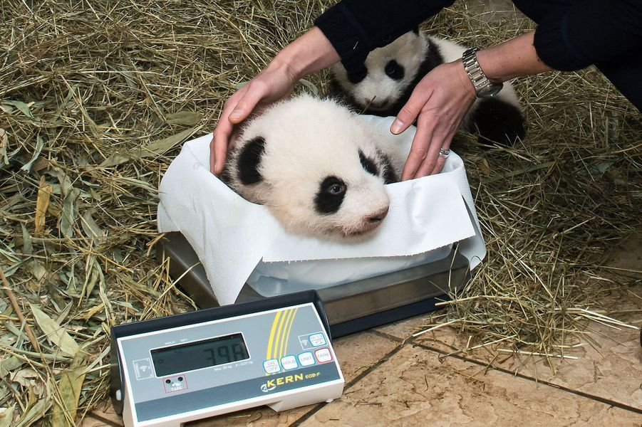 Les bébés de Yang Yang, au zoo de Vienne, font la pesée