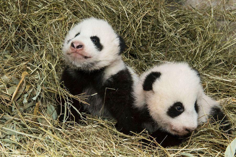 Les bébés de Yang Yang, au zoo de Vienne, ont la vie douce