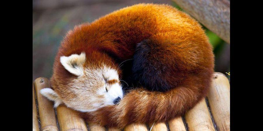 Finalement, après avoir passé 13 heures de sa journée à se goinfrer de bambou, une grosse sieste s'impose. (voir l'épingle)Suivez nous surPinterest!