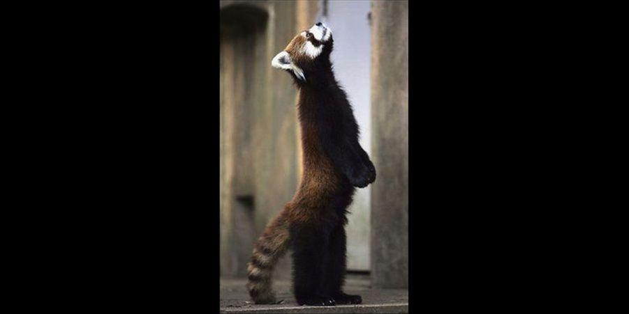 Ce petit panda n'hésite pas à se tenir debout sur ses pattes arrières.(voir l'épingle)Suivez nous surPinterest!