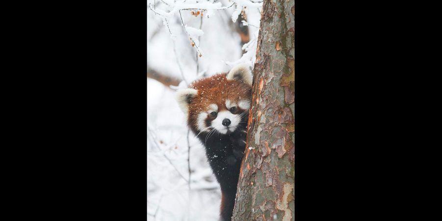 Ne dites rien, ce petit panda est en pleine partie de cache-cache. (voir l'épingle)Suivez nous surPinterest!