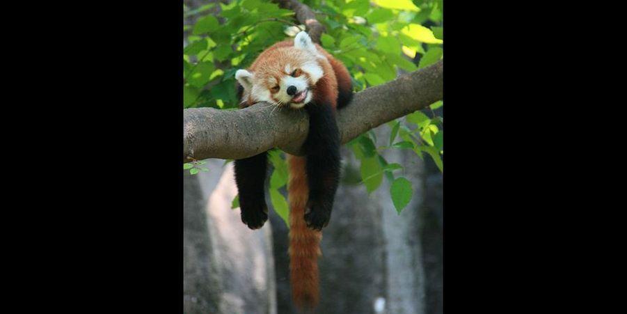 Voici l'activité favorite des pandas roux : ne rien faire. (voir l'épingle)Suivez nous surPinterest!