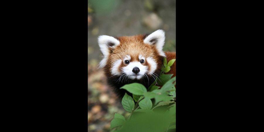 Le panda roux est un véritable hédoniste : il profite pleinement de sa vie en jouant régulièrement avec ses semblables, en dégustant des kilos de bambou et en passant le plus clair de son temps à dormir au sommet des arbres. Bien que paresseux, le panda roux ne se refuse jamais une partie de batifolage dans la neige.Le panda roux est un mammifère carnivore originaire de l'Himalaya et de la Chine méridionale, même si il est souvent confondu avec un raton laveur ou un petit ours, le panda roux appartient à une famille bien spécifique et unique : les Ailuridés. L'habitat naturel du panda roux sont les forets et les sous-bois, préférant rester perché en sécurité au sommet des arbres. Même si son régime alimentaire est composé de 95% de bambou, parfois le panda roux dévore des petits rongeurs, des insectes, des reptiles et même des oiseaux !Le saviez-vous ? Le panda roux mange jusqu'à 200 000 feuilles de bambou par jour, ce qui représente 45% de son poids ! Et passe environ 13h par jour à se nourrir.De ce fait, son rythme d'activité est assez calme, avec son métabolisme lent, le panda roux limite au maximum ses dépenses énergétiques et se rapproche du rythme de vie du paresseux. Il passe donc la plupart de son temps à manger puis à dormir à la cime d'un arbre, échappant ainsi à la panthère des neiges, son plus grand prédateur.Plutôt solitaire, le panda roux a put être observé partageant sa vie en couple ou en famille dans son habitat naturel. Le Panda roux est une espèce protégée, il reste moins de 10 000 individus libres dans la nature, leur disparition est liée à la déforestation de leur territoire.Cette semaine, nous vous avons sélectionné les meilleures photographies de ce mammifère charmant sur Pinterest. Retrouvez également notre diaporama de la semaine dernière sur les hérissons attendrissants de Pinterest ainsi que notre diaporama sur les ratons laveurs malicieux de Pinterest.Suivez nous sur Pinterest!