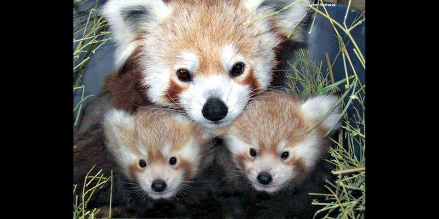 Ces deux petits bébés pandas roux sont entourés par leur mère pour un portrait de famille. (voir l'épingle)Suivez nous surPinterest!