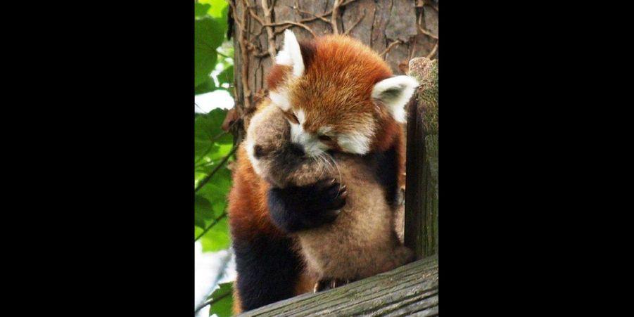 Rien ne remplace l'amour d'une mère panda roux. (voir l'épingle)Suivez nous surPinterest!