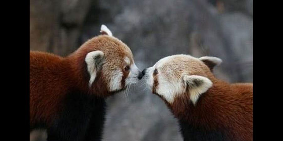 Dans la nature, les pandas roux peuvent parfois passer leur vie en couple. (voir l'épingle)Suivez nous surPinterest!