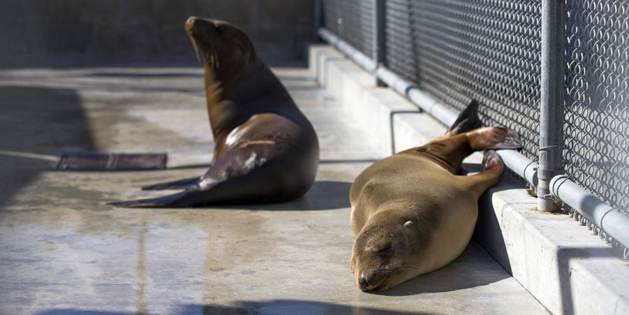 Des lions de mer sauvés par le Marine Mammal Center