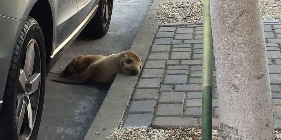 Rubbish, le petit lion de mer retrouvé dans les rues de San Francisco