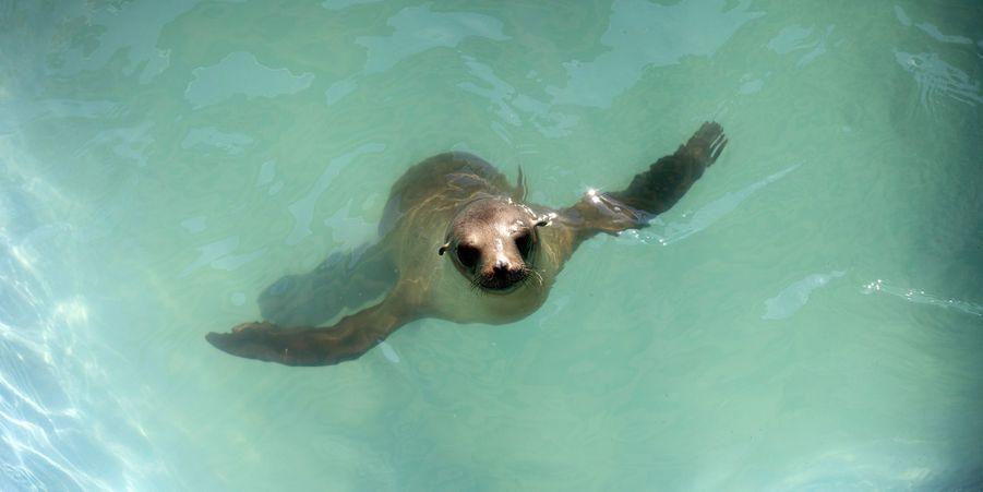 Un des lions de mer sauvés par le Marine Mammal Center