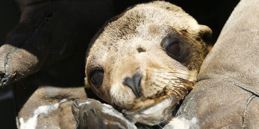 Un des lions de mer sauvés par le parc SeaWorld
