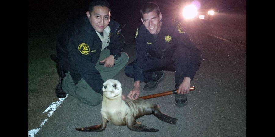 Un lion de mer a été sauvé par deux policiers à Fort Bragg
