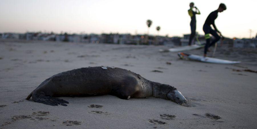 Un lion de mer échoué sur Hermosa Beach